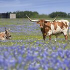 Bluebonnet Images - Longhorns in Bluebonnets 5 by RobGreebonPhoto