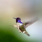 Costa's Hummingbird In Flight by onyonet photo studios