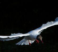 Black-headed Gull by jbosak