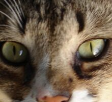 Tabby Cat Kitten Giving Eye Contact Sticker