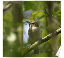 Chiffchaff with Feather Poster