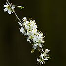 White Spring Blossom by Sue Robinson