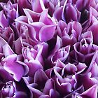 Luscious Lavender Tulips by seeingred13