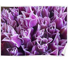 Luscious Lavender Tulips Poster