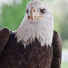 Buddy The Ambassador Bald Eagle, 5th Hatchday by Denise Worden