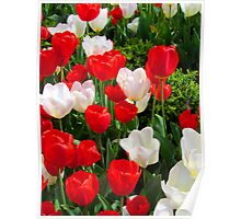 Tulips - Red and White Poster