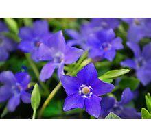 Blue Myrtle  Photographic Print