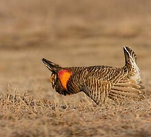 Prairie Chicken-9 by Thomas Young