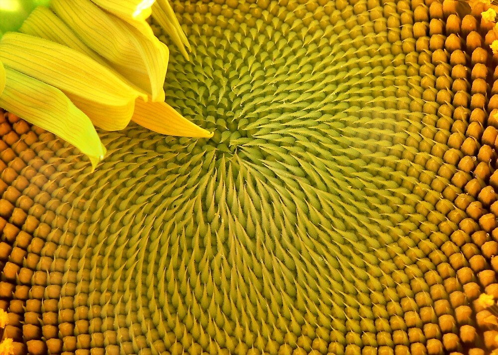 Nearly there...Sunflower by paintingsheep