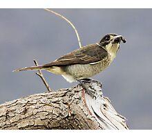 Cricket Anyone  Butcher Bird  Canberra Australia  Photographic Print