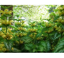 Yellow Archangel Photographic Print