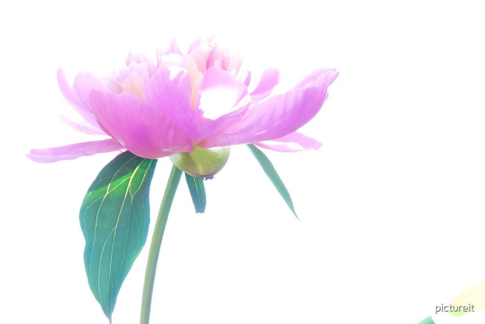 Peonie Pink by pictureit
