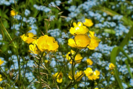 Buttercups & Forget-Me-Nots by Kathleen M. Daley