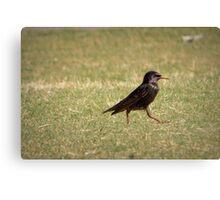 European Starling Strut Canvas Print