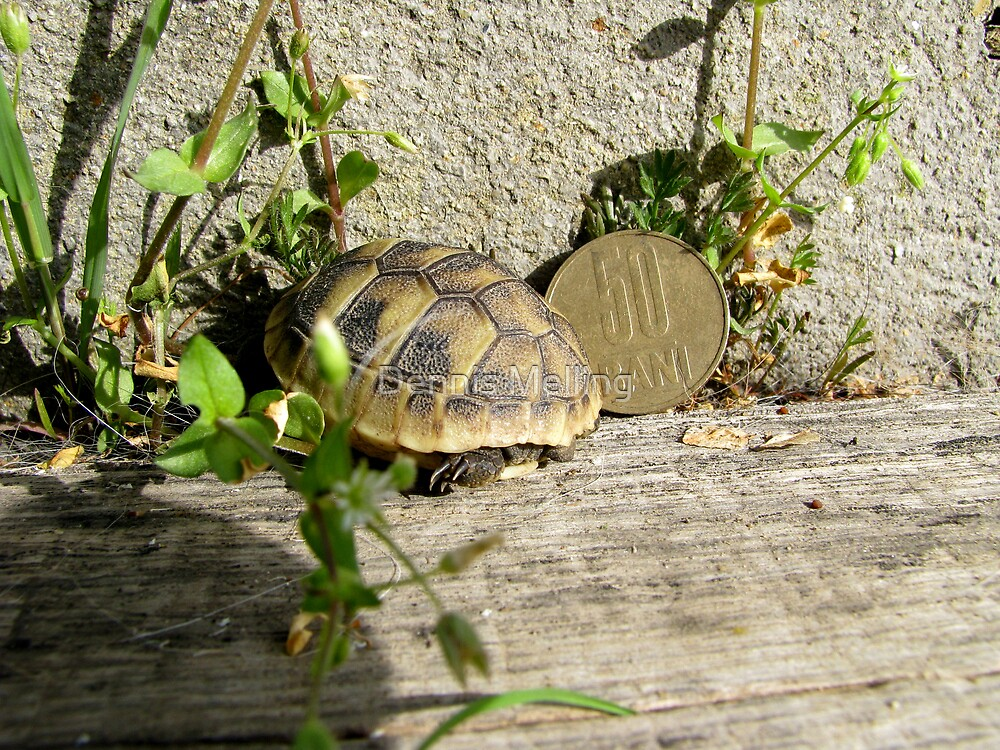 Baby Eastern Hermann's Tortoise in Romania by Dennis Melling