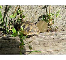 Baby Eastern Hermann's Tortoise in Romania Photographic Print