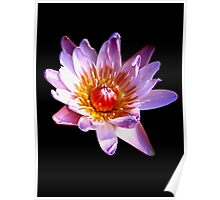 Pink Waterlily (2) Poster