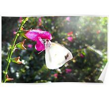 Pearl White Butterfly on pink flower Poster