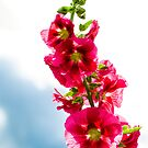 Red Hollyhock by mlphoto