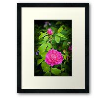 Pink Rose England Framed Print