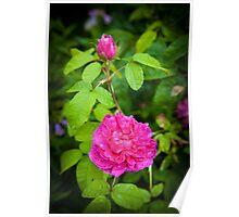 Pink Rose England Poster