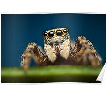 Pseudeuophrys erratica jumping spider photo Poster