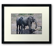 Elephants and buffalo bathing Framed Print