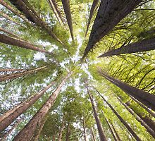 Redwood Forest, Otways, Victoria, Australia by Mark Higgins