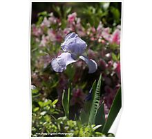 Lavender Iris in bloom Poster