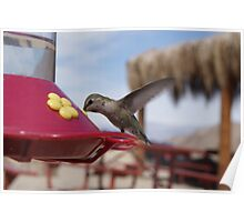 Hummingbird Photographs Poster