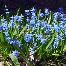 First Blooms - Scilla Siberica by kkmarais