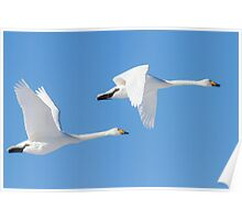 Swans in flight. Poster
