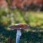 Fly agaric - Mt Wilson by Ian English