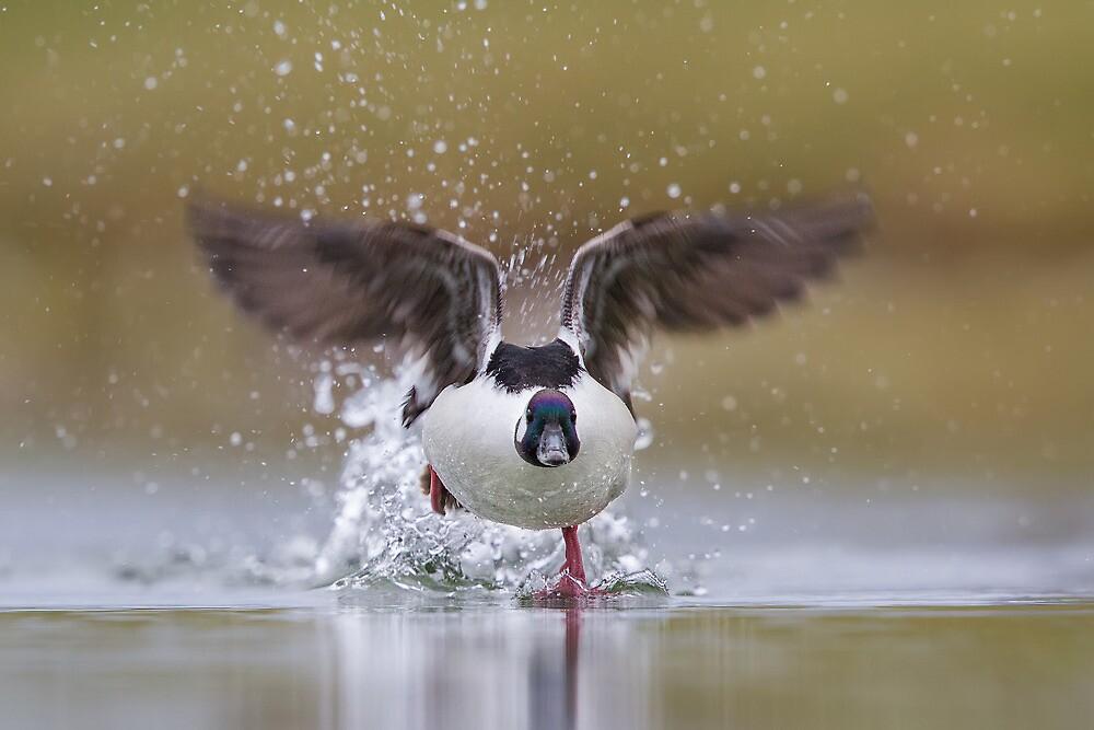 Bufflehead Running on Water. by Daniel Cadieux