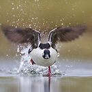 Bufflehead Running on Water. by Daniel Cadieux