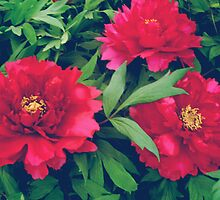 Red peony flowers by cycreation