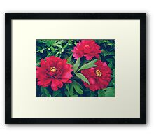 Red peony flowers Framed Print