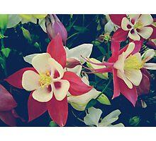 White pink aquilegia flowers Photographic Print