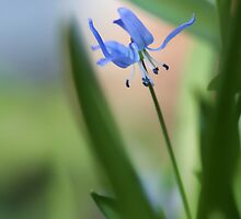 Siberian Squill by T.J. Martin