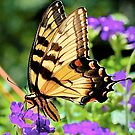 Eastern Tiger Swallowtail by Tom Piorkowski