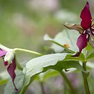 Red Trillium by Mikell Herrick
