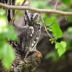 Screech owl by Kate Farkas