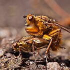 Flies mating by Csar Torres