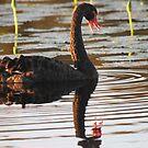 Swan Talk by byronbackyard