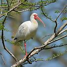 White Ibis With Breeding Colors by Kathy Baccari