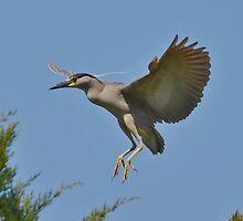 Black Crowned Night Heron In Flight by Kathy Baccari