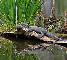 Lazy Gator Reflection by Kathy Baccari