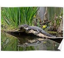 Lazy Gator Reflection Poster