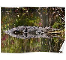 Big Gator Reflection Poster