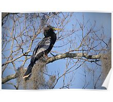 Anhinga In Breeding Colors Poster